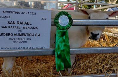 Oveja sanrafaelina se destaca en la Expo «Argentina Ovina» en la Rural